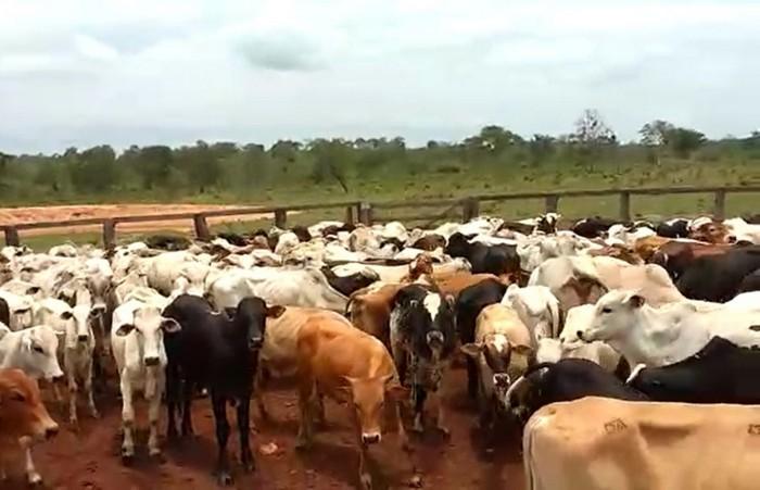 Resultado de imagem para gado furtado